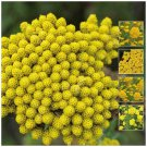 Yellow Ageratum Seeds canary yellow flowering