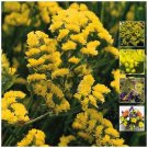 Premium cut Statice Majestic Double Yellow 25 Seeds