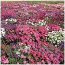 Bright Color Verbena Serenity Mix 25 Seeds