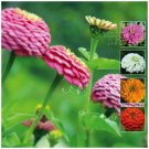 Zinnia Cut Flower Classic 30 Seeds mixed color Premium variety