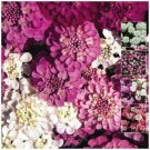 White, pink, purple, red CANDYTUFT Fairy Mix x100 Seeds