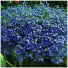 Real BLUE Sapphire Seeds. groundcover 100 seeds/ pack