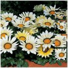 Large bright flowers Kiss White x15 Seeds