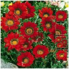Gazania Kiss Frosty Red With Ring Premium hybrid 15 seeds