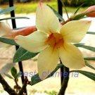 Promo 60 seeds Yellow Mahamongkol Adenium Obesum rose desert