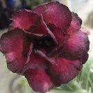 Promo 100 seeds Moungnumchok Adenium Obesum rose desert