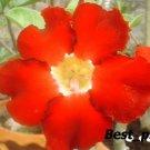 Promo 100 seeds Sangkajang Adenium Obesum rose desert