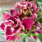 Promo 100 seeds Rainy Adenium Obesum rose desert