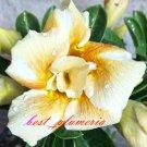 Promo 100 seeds Caramel Adenium Obesum rose desert