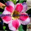 Promo 100 seeds Cutie Fresh Adenium Obesum rose desert