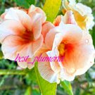 Promo 100 seeds Golden peach Fresh Adenium Obesum rose desert