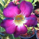Promo 100 seeds Purple Sirimongkol Fresh Adenium Obesum rose desert