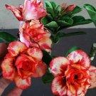 Promo 100 seeds Laksuda Fresh Adenium Obesum rose desert