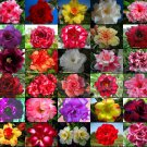 5000 seeds identified by color Fresh Adenium Obesum rose desert