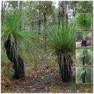 12 seeds Xanthorrhoea Preissii Balga Blackboy Native grass tree ideal for pots