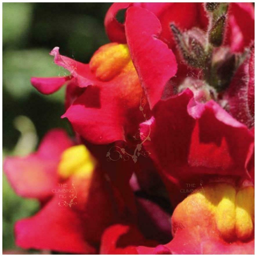 SNAPDRAGON Kamikaze RED-YELLOW 10 Seeds