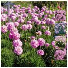 Agapanthus ARMERIA Sovereign PINK 30 seeds