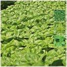 Premium herb Sweet Basil Italian x100 Seeds