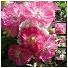 Rosa Chinensis Angel Wings Rose 12 Seeds