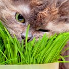 Heirloom Herb Collection 500 seeds Cat Grass