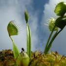 6 seeds Cupped Trap Venus Fly Trap Carnivorous Plant