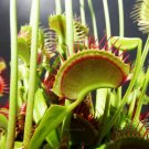 Venus Fly Trap G14 Dirk Ventham's Giant Cultivar Dionaea Muscipula Garden Plant