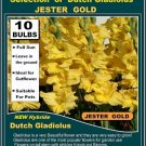 10 bulbs collection GLADIOLUS Gladioli JESTER GOLD