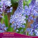 5 bulbs Hyacinth Squill BULBS (Scila hyacinthoides)