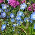 BABY BLUE EYE 50 Seeds flower garden NEMOPHILA