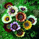Garden Decore CHRYSANTHEMUM Rainbow Single 50 seeds per pack