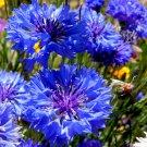 Favorite Wild Flower CORNFLOWER Blue Boy 80 seeds
