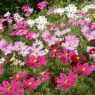 COSMOS Versailles easy grow Mixed 40+ Seeds