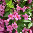 Hummingbirds Old Fashioned Weigela Florida Shrub Bush Seeds