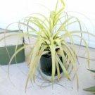 New Variety 30 seeds Tillandsia Utriculata Giant Wild Pine