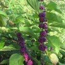 Callicarpa Dichotoma 40 seeds Ornamental Purple Beauty Berry