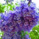 Fresh Blue Jacaranda Mimosifolia Fern Tree 20 seeds