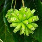 Camptotheca Acuminata 10 seeds Tree Of Life, Cancer Tree