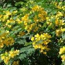 Cassia Glauca Shrub Tree Bush Senna Surattensis