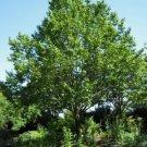 10 seeds Eucommia Ulmoides Hardy Medicinal Rubber Tree