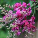 Lespedeza Bicolor 50 seeds Hardy Bush Clover Shrub Garden Landscape