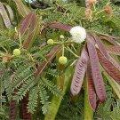 Miracle Lead Tree 20 seeds Leucaena Leucocephala
