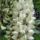 Robinia Pseudoacacia Cold Hardy Locust 50 seeds