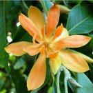 Michelia Champaca Magnolia 10 seeds Fragrant Perfume