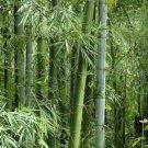 Bambusa bambos Giant Indian Thorny 15 seeds