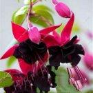 20 seeds Fuchsia Bonsai Flower Bonsai Decore #370