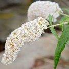 WHITE BUTTERFLY BUSH Buddleia Davidii Flower 50 seeds