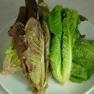 super sell 3000 seed RED ROMAINE LETTUCE Lactuca Sativa