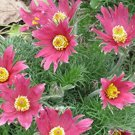 10 seeds RED ANEMONE Pulsatilla Vulgaris