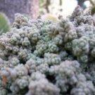 SPANISH STONECROP / SEDUM HISPANICUM 25 seeds