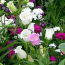 CANTERBURY BELLS CROWN MIX Campanula fresh 100 seeds